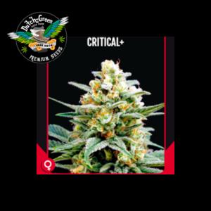 Critical + Dutch Green Seeds
